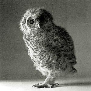 oneill_tawny_owl